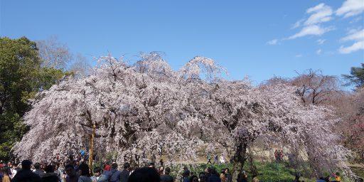 旧皇室庭園、東京新宿御苑で美しい桜の季節が始まりました
