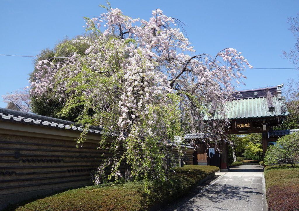 桜の季節 東京1