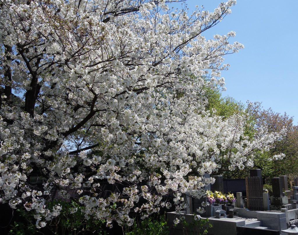 桜の季節 東京2