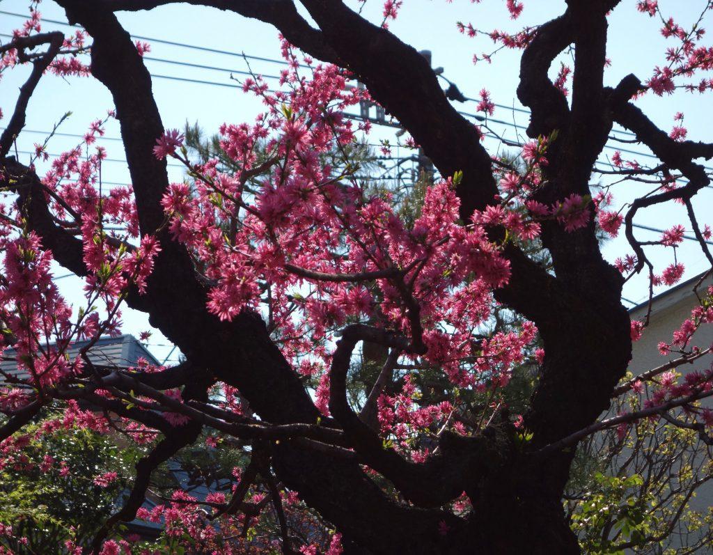 桜の季節 東京4