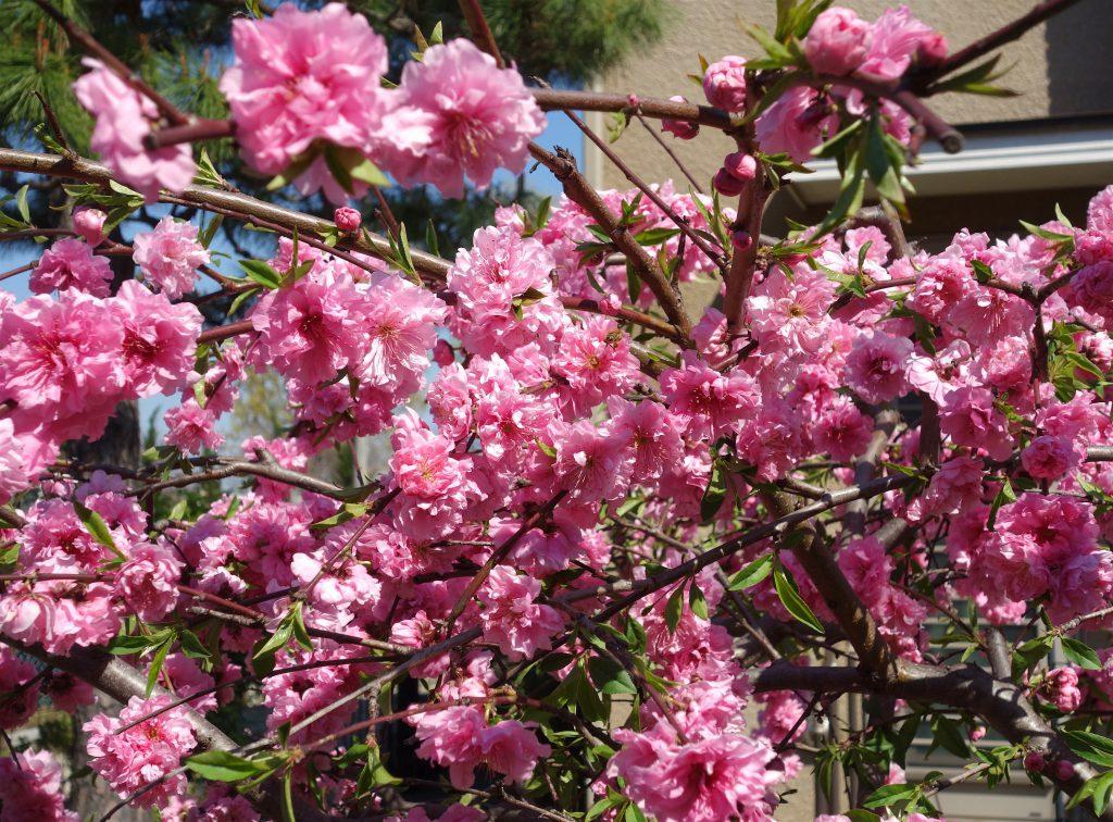 桜の季節 東京5