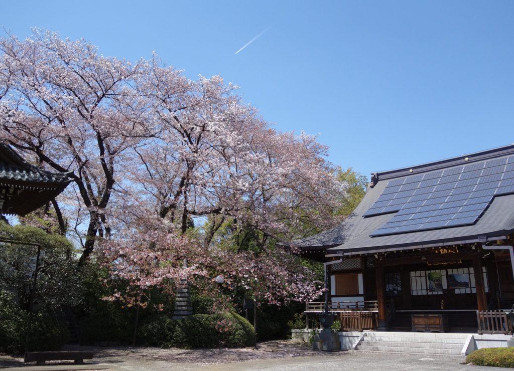 桜の季節 東京6