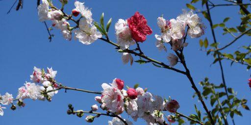 、、、心にしみる壮麗な桜