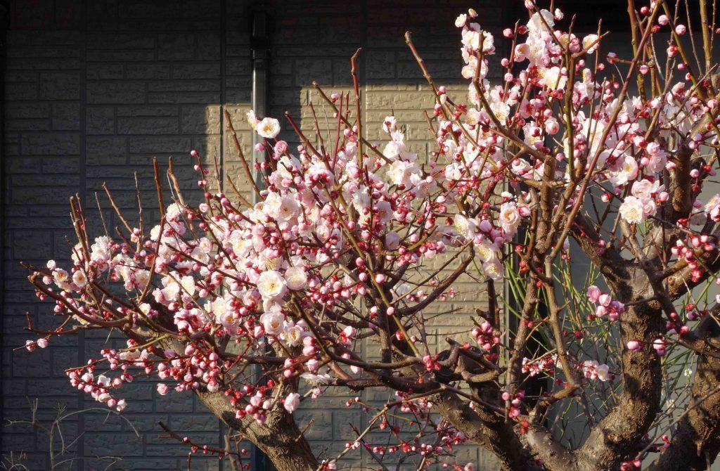 カワヅザクラ 東京 Kawazu cherry tree Tokyo