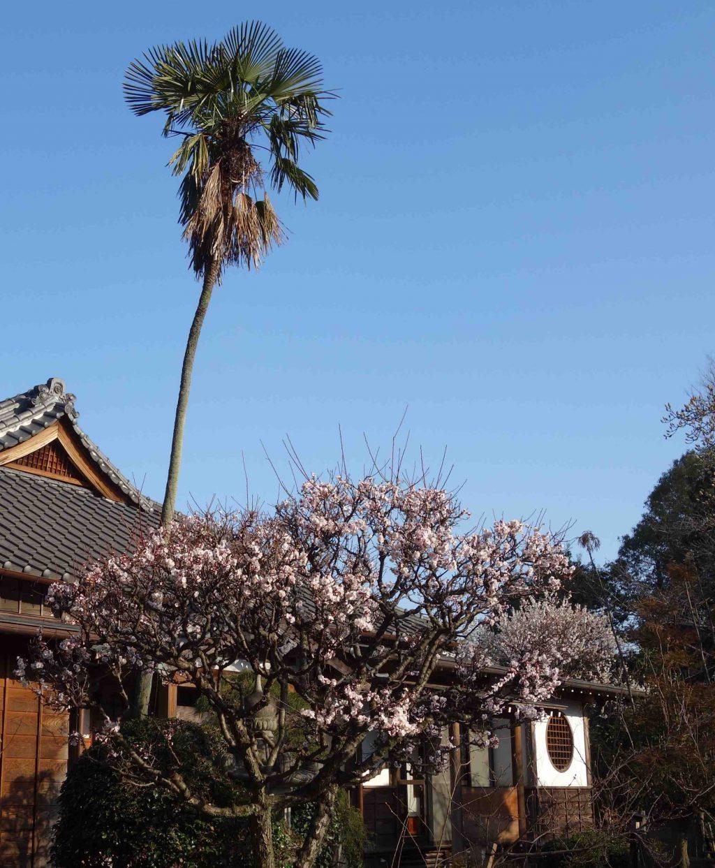 カワヅザクラ 風景 Kawazu cherry tree
