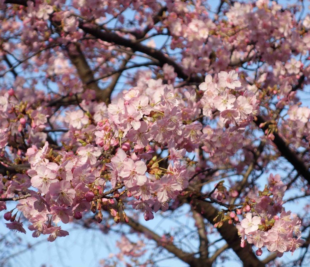 カワヅザクラ 2月 Kawazu cherry tree