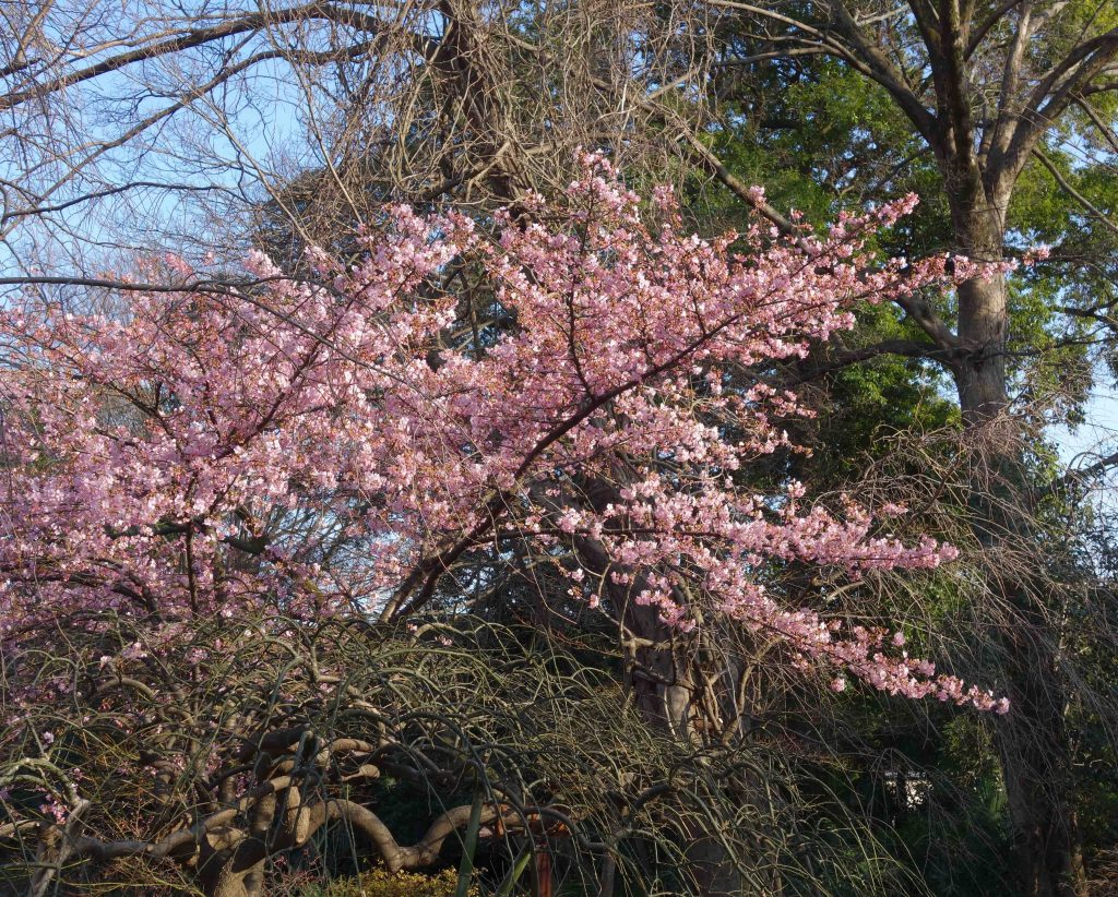 カワヅザクラ Kawazu cherry tree 2月