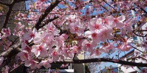 私のジャポニスム 、、、心にしみる壮麗な桜