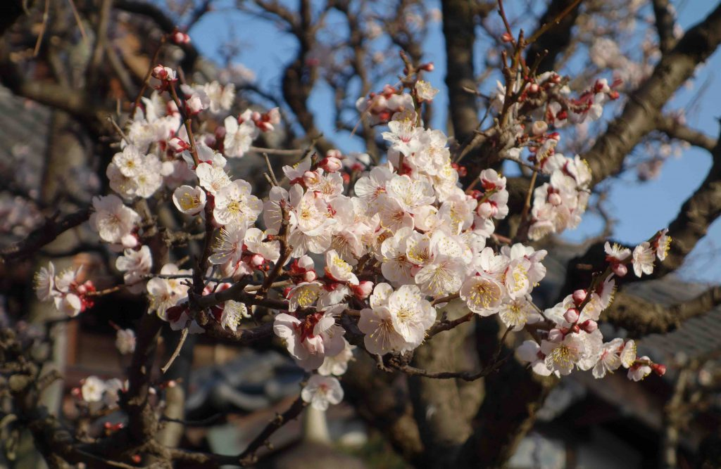 カワヅザクラ Kawazu cherry tree Tokyo