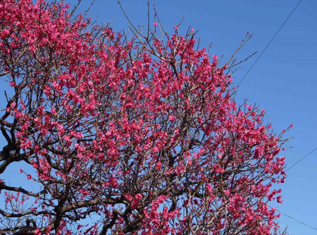 桜の季節 東京