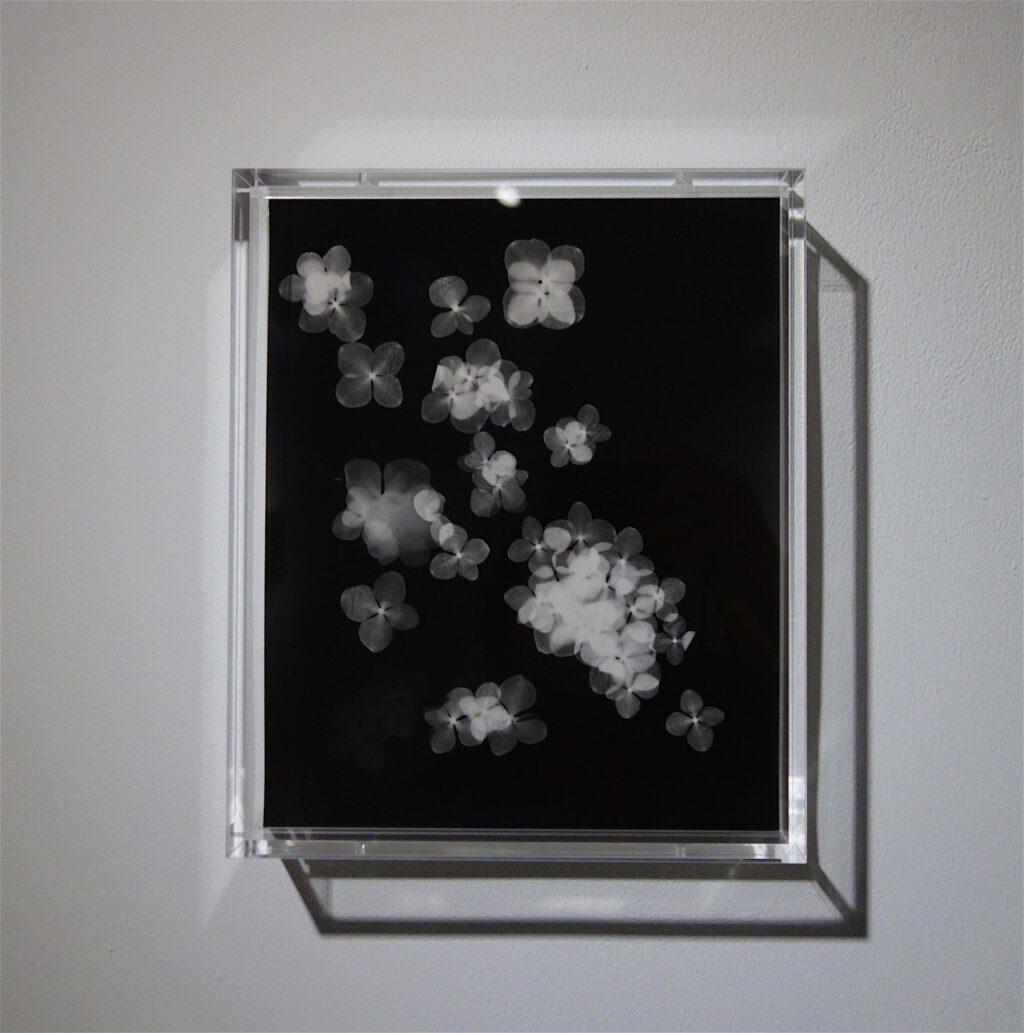 "NAGASHIMA Yurie 長島有里枝 ""Hydrangea#1"" 2019, Gelatin Silver Print, unique"